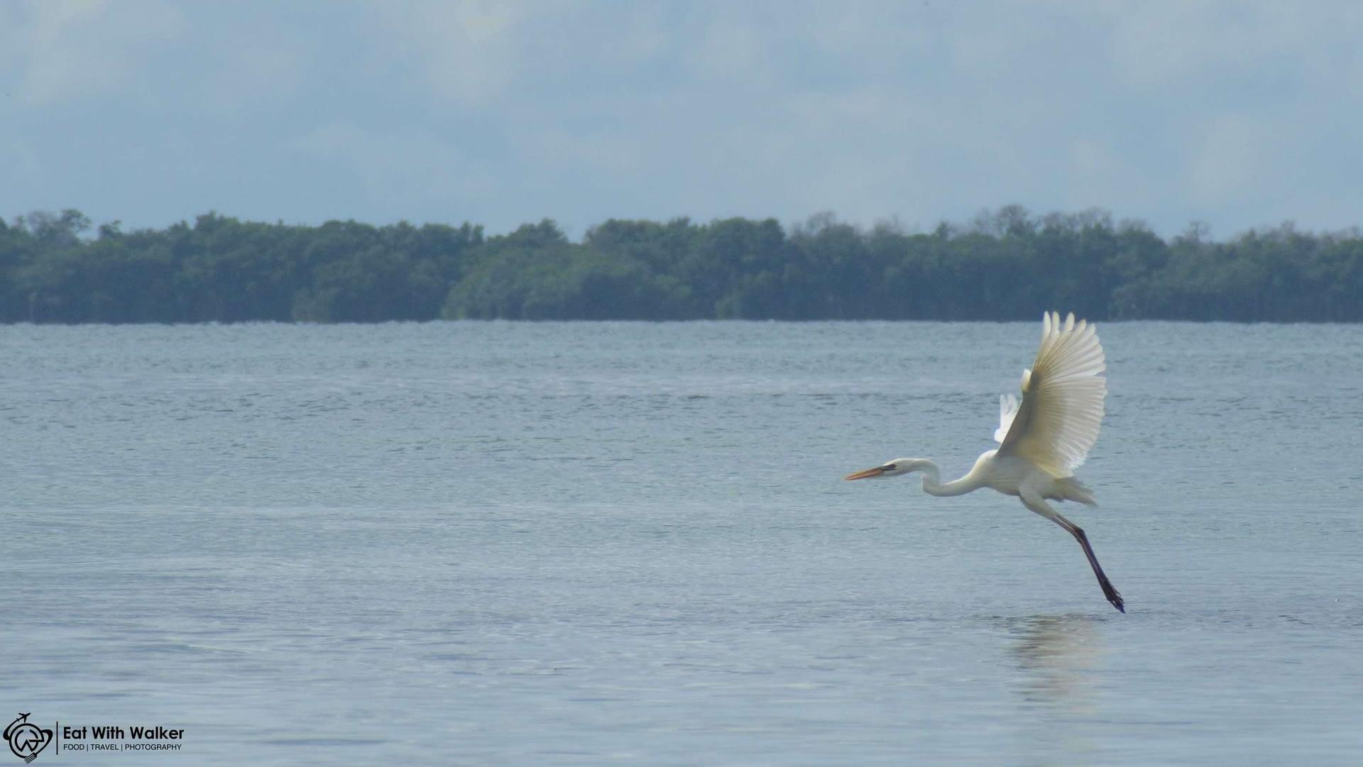Great White Heron - Isla de los Parajos