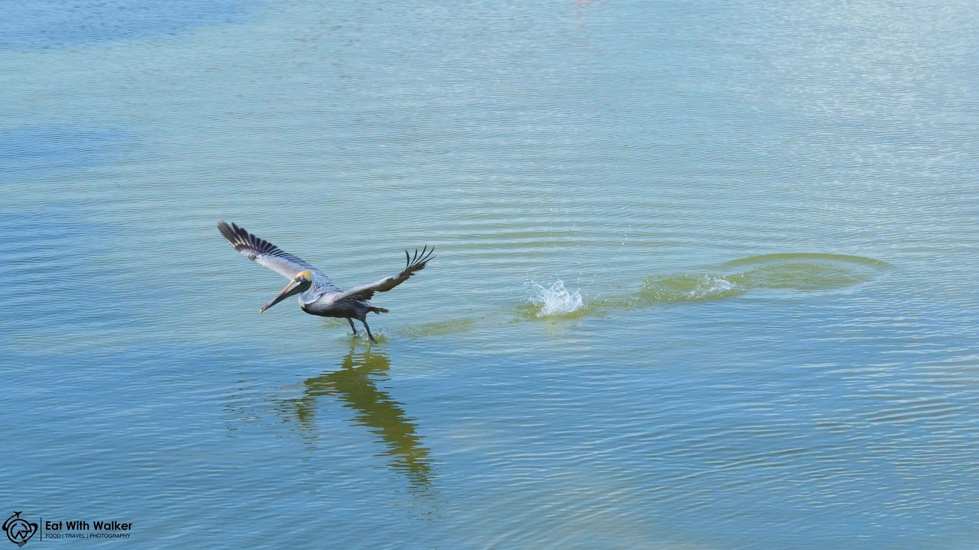 Pelican Taking Flight - Isla de los Parajos